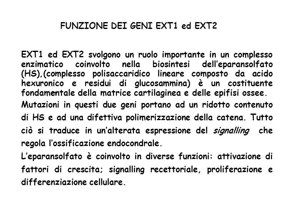 - FUNZIONE DEI GENI EXT1 ed EXT2