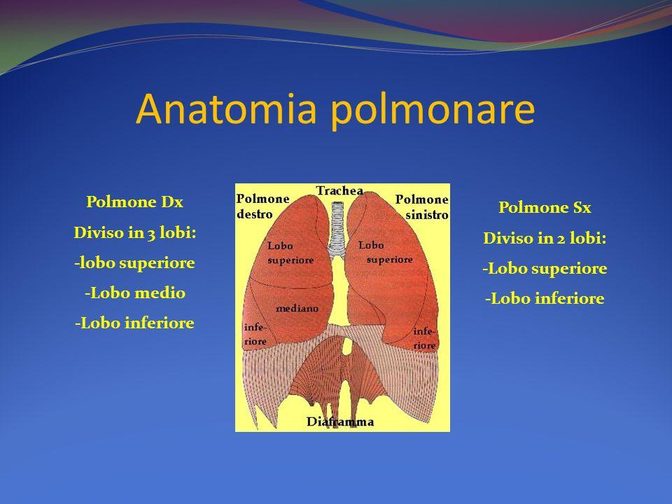 Anatomia polmonare Polmone Dx Polmone Sx Diviso in 3 lobi:
