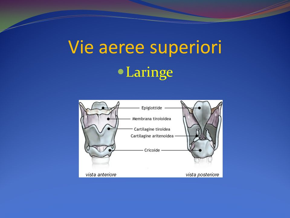 Vie aeree superiori Laringe