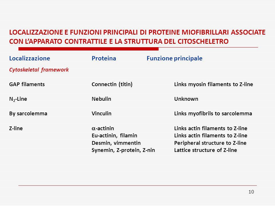 LOCALIZZAZIONE E FUNZIONI PRINCIPALI DI PROTEINE MIOFIBRILLARI ASSOCIATE CON L'APPARATO CONTRATTILE E LA STRUTTURA DEL CITOSCHELETRO
