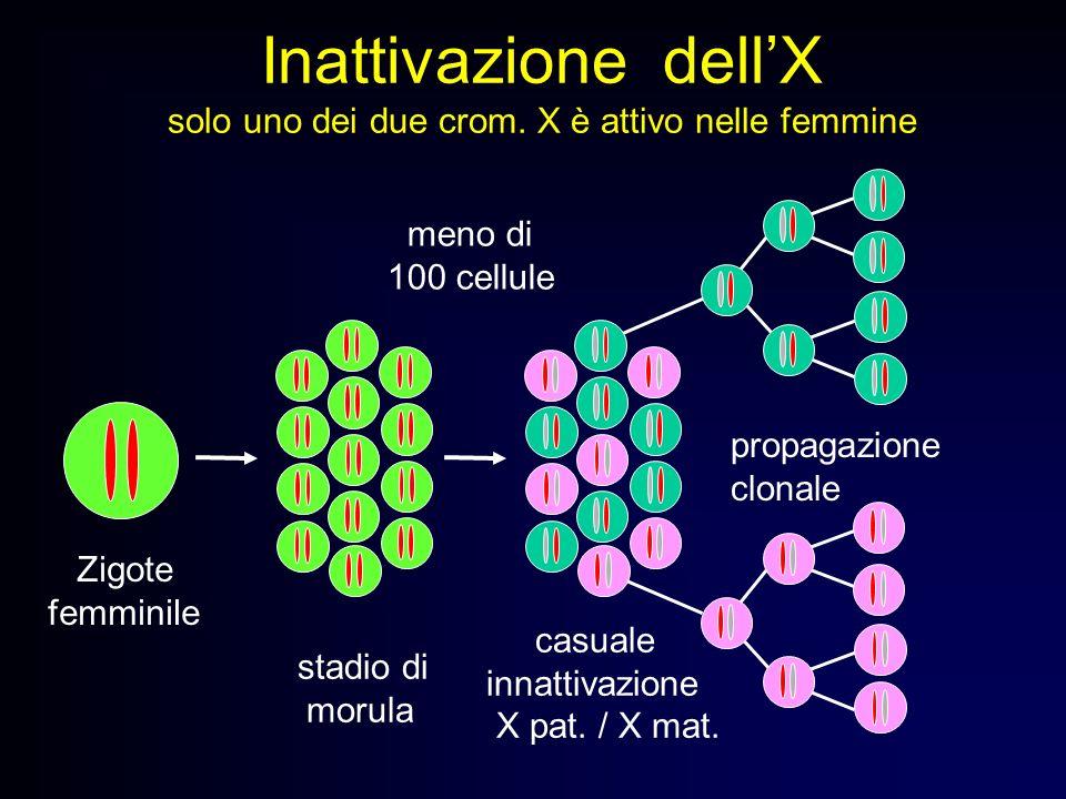 Inattivazione dell'X solo uno dei due crom. X è attivo nelle femmine