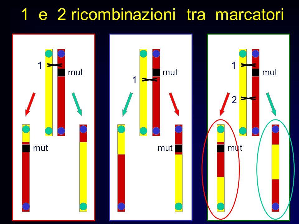 1 e 2 ricombinazioni tra marcatori