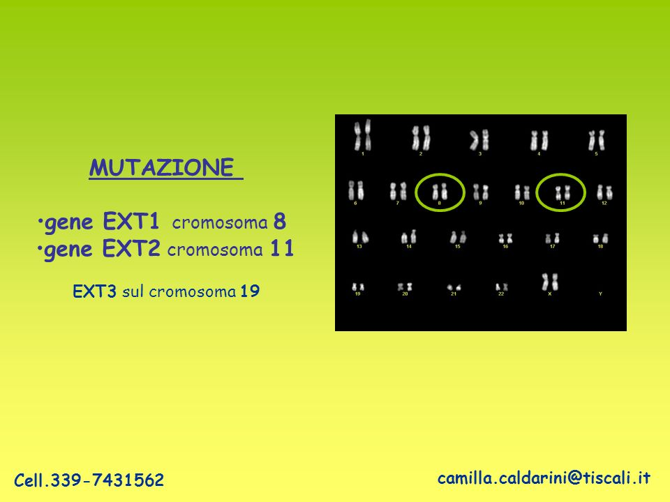 MUTAZIONE gene EXT1 cromosoma 8 gene EXT2 cromosoma 11