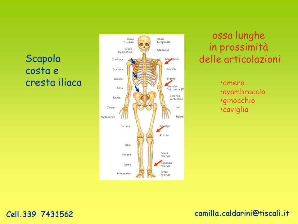 ossa lunghe in prossimità delle articolazioni Scapola costa e