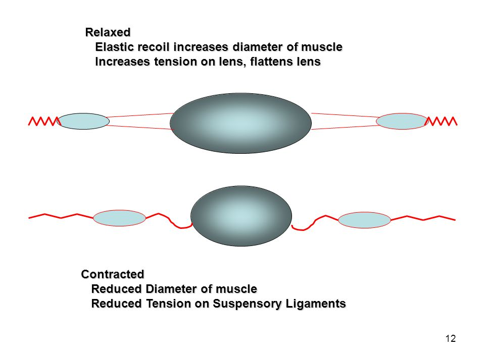 RelaxedElastic recoil increases diameter of muscle. Increases tension on lens, flattens lens. Contracted.