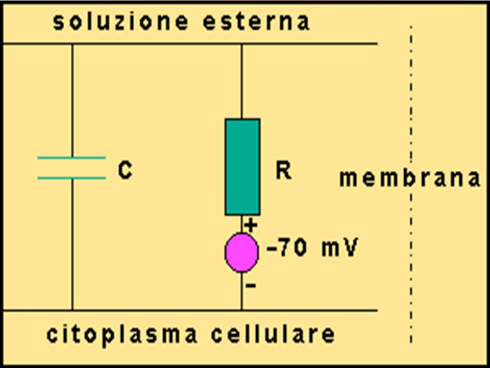 La membrana cellulare separando cariche elettriche si comporta come un condensatore .