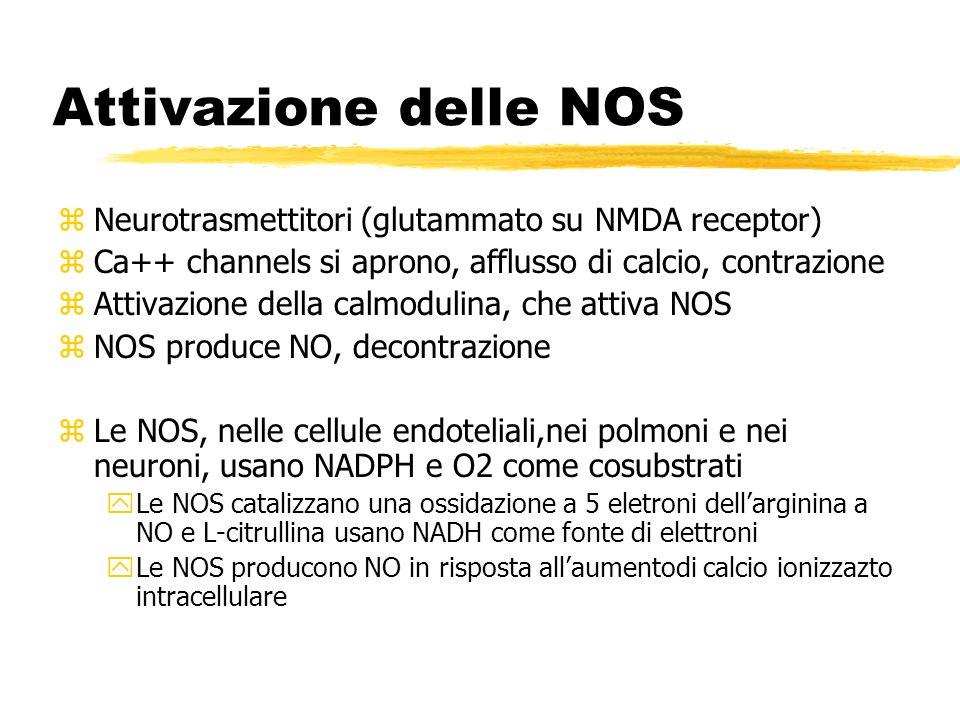 Attivazione delle NOS Neurotrasmettitori (glutammato su NMDA receptor)