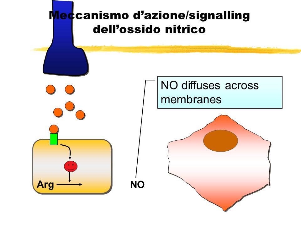Meccanismo d'azione/signalling dell'ossido nitrico