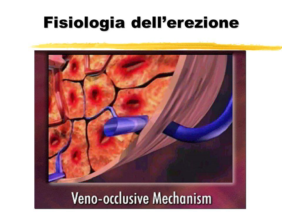 Fisiologia dell'erezione