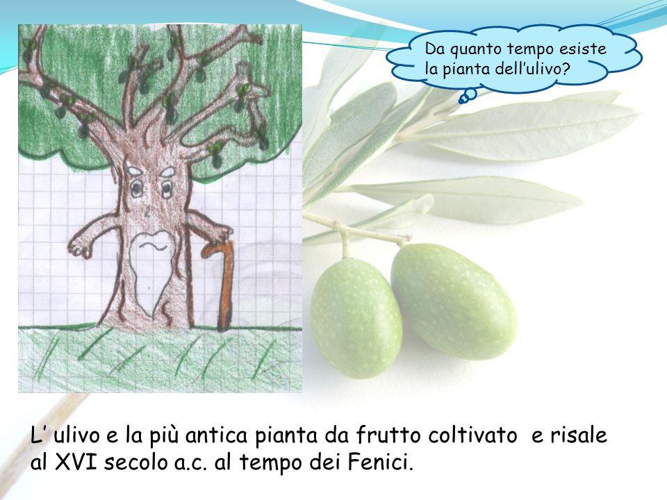 Da quanto tempo esiste la pianta dell'ulivo