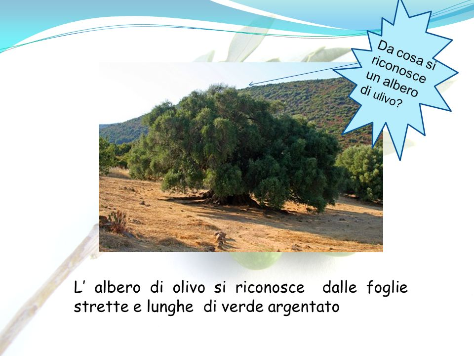 Da cosa si riconosce un albero di ulivo