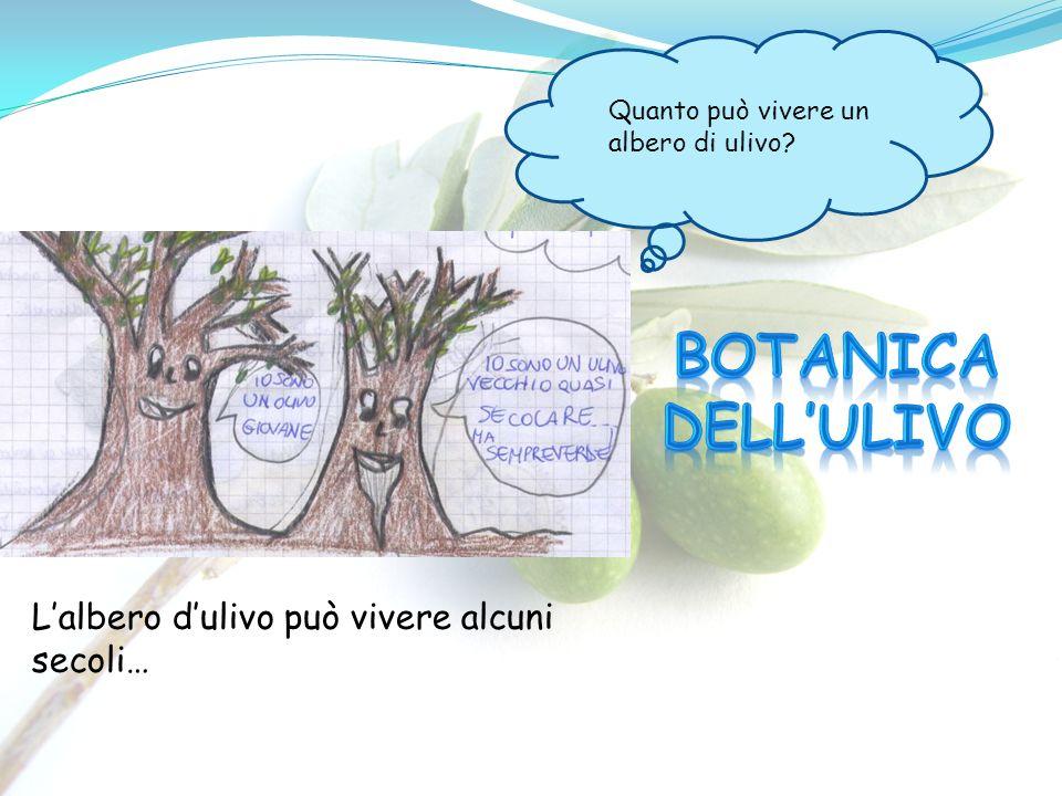 Botanica dell'ulivo L'albero d'ulivo può vivere alcuni secoli…