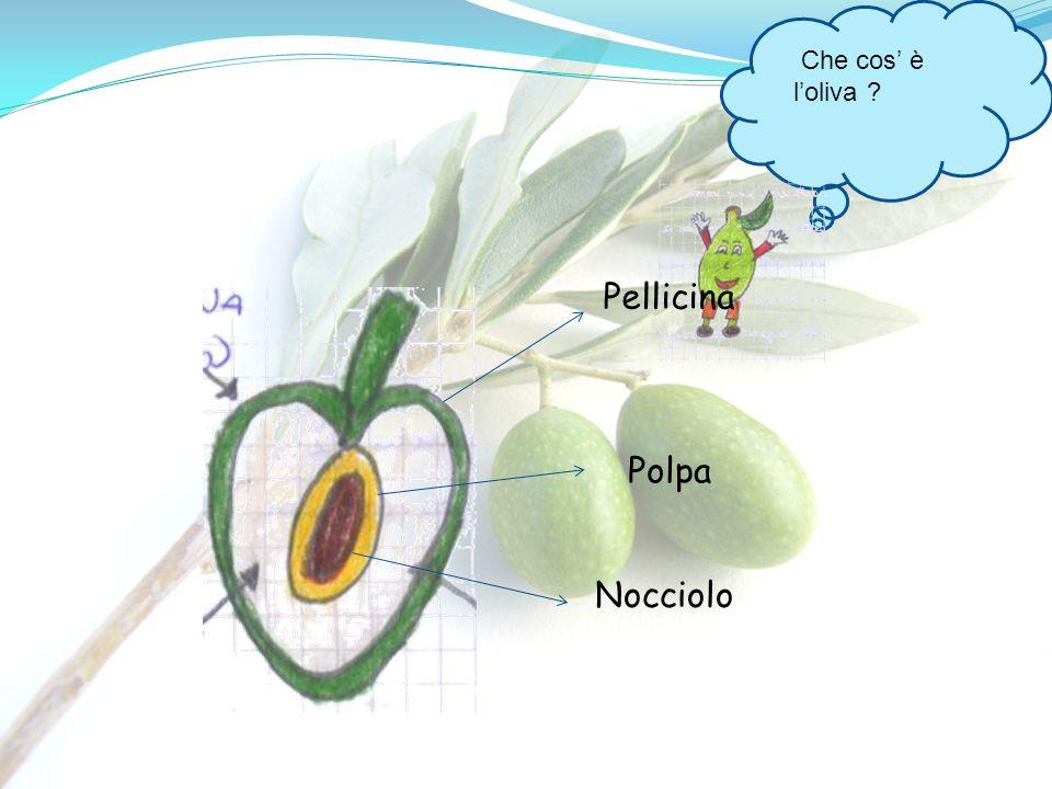 Che cos' è l'oliva Pellicina Polpa Nocciolo