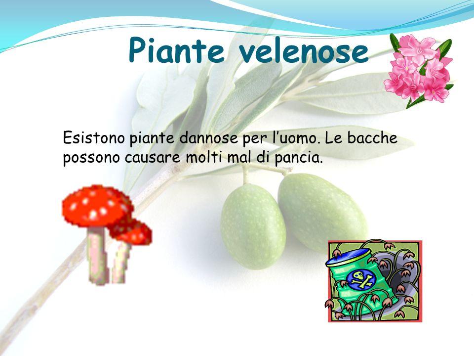 Piante velenose Esistono piante dannose per l'uomo. Le bacche possono causare molti mal di pancia.