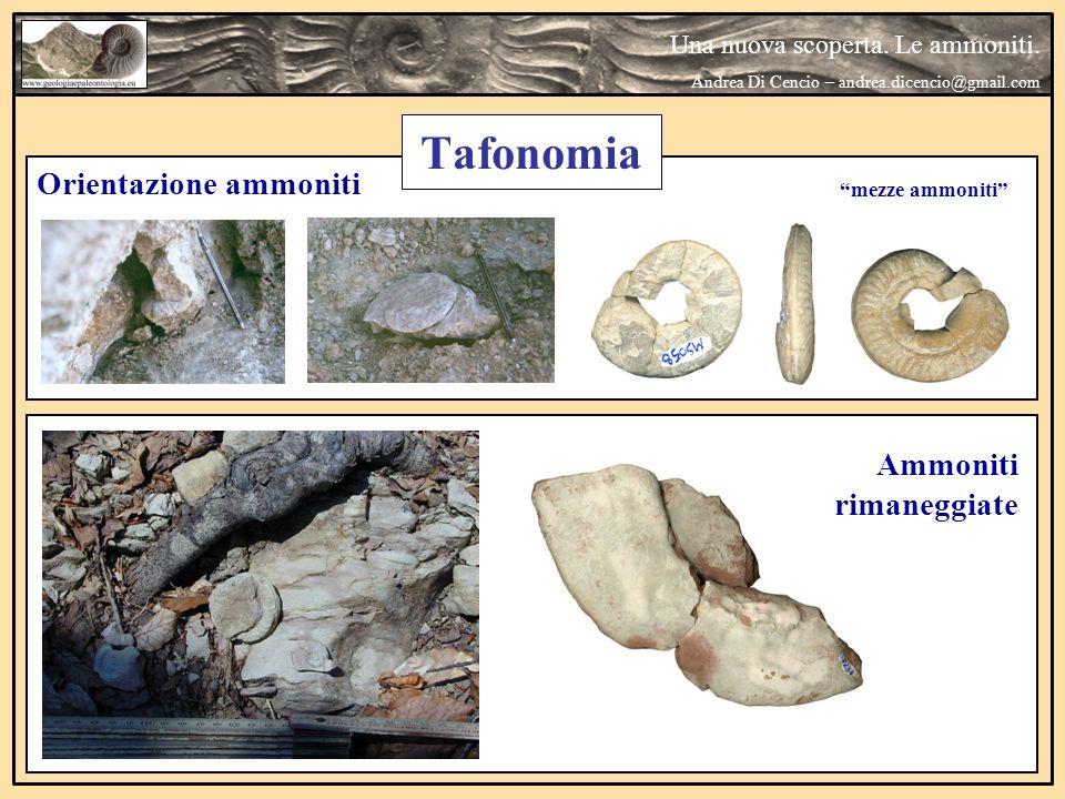 Tafonomia Orientazione ammoniti Ammoniti rimaneggiate