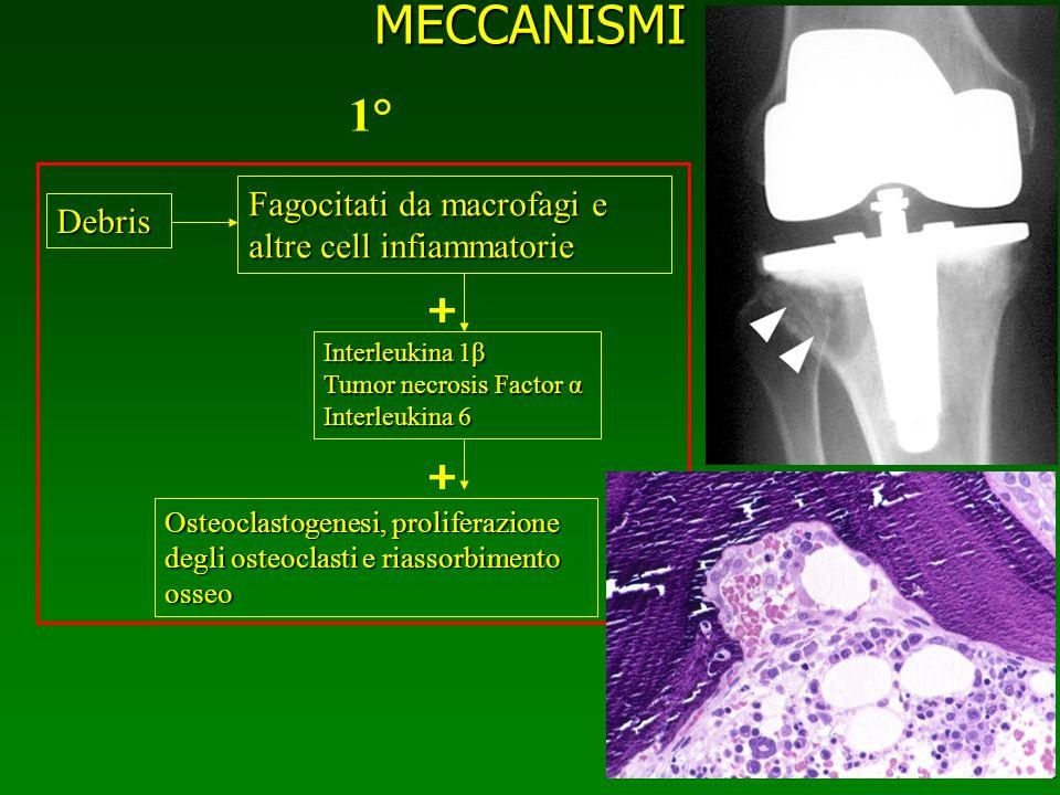 MECCANISMI 1° Fagocitati da macrofagi e altre cell infiammatorie