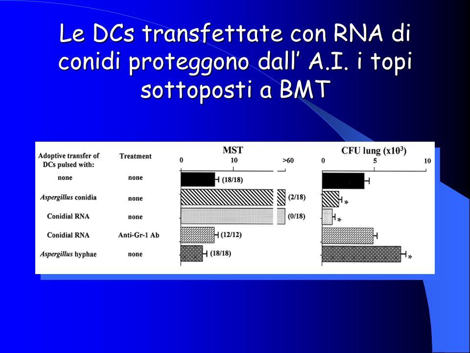 Le DCs transfettate con RNA di conidi proteggono dall' A. I