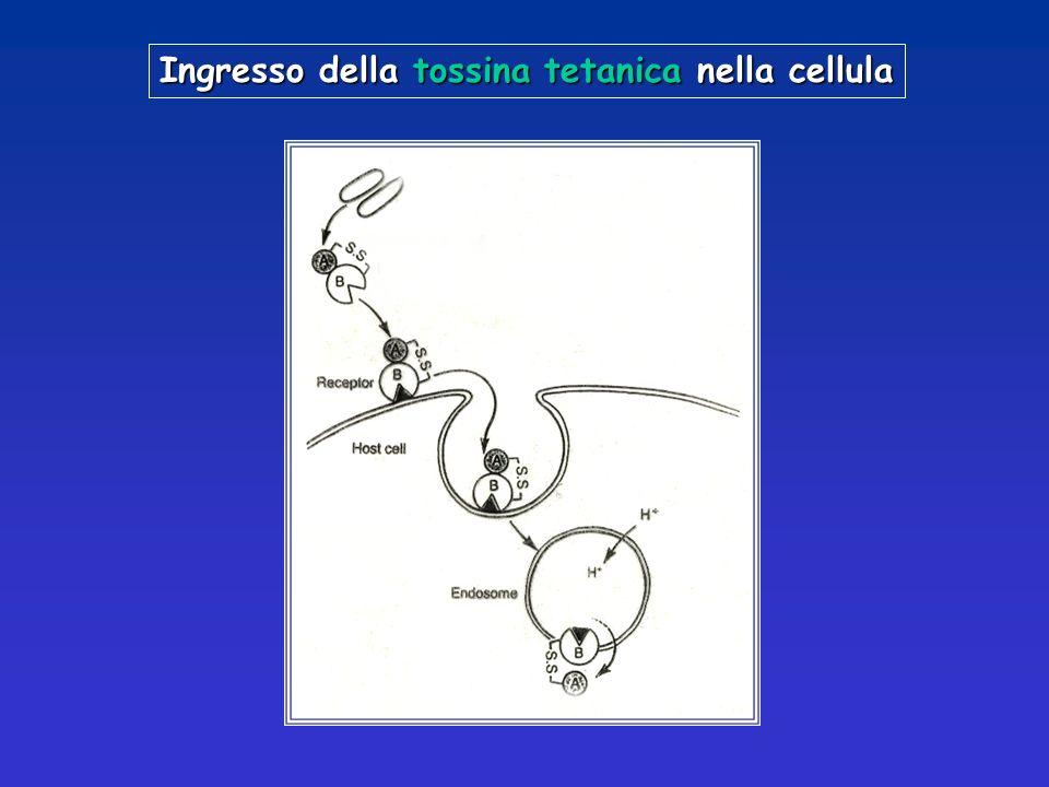 Ingresso della tossina tetanica nella cellula