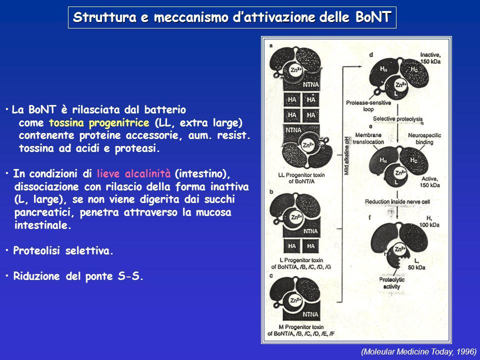 Struttura e meccanismo d'attivazione delle BoNT