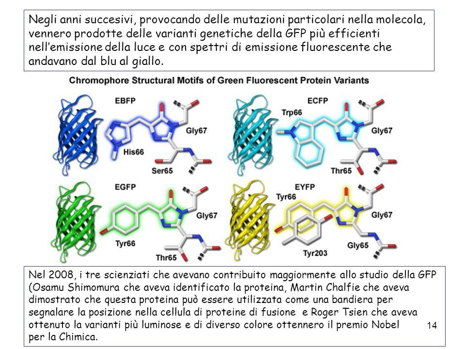 Negli anni succesivi, provocando delle mutazioni particolari nella molecola, vennero prodotte delle varianti genetiche della GFP più efficienti nell'emissione della luce e con spettri di emissione fluorescente che andavano dal blu al giallo.