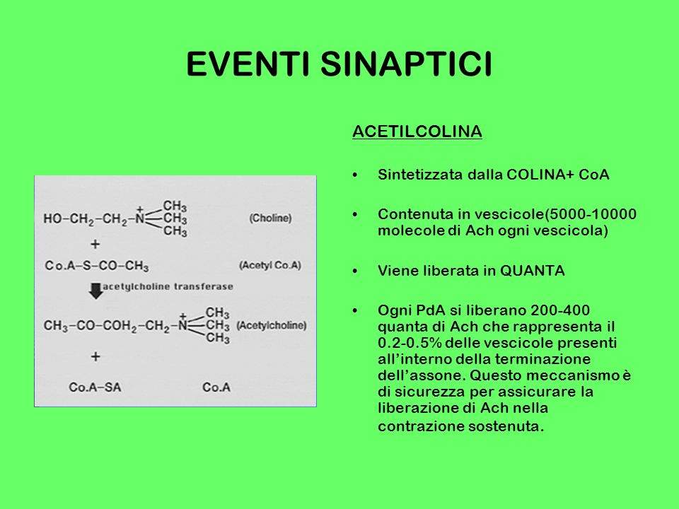 EVENTI SINAPTICI ACETILCOLINA Sintetizzata dalla COLINA+ CoA