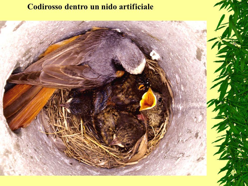 Codirosso dentro un nido artificiale