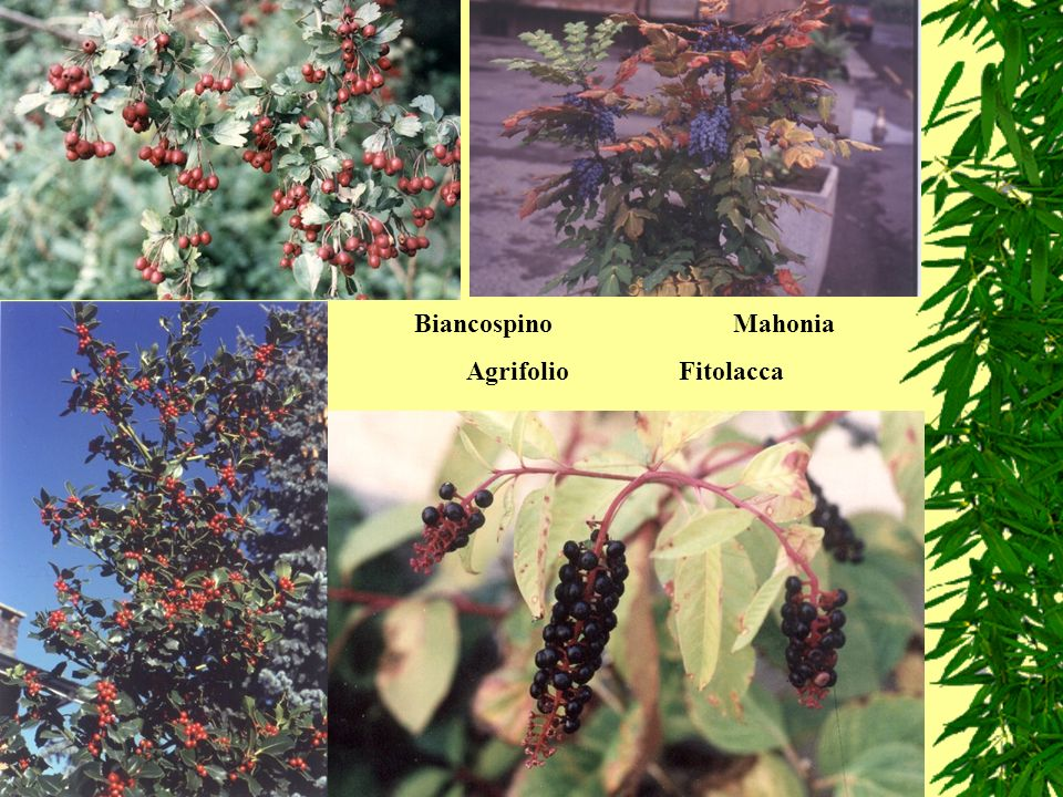Biancospino Mahonia Agrifolio Fitolacca