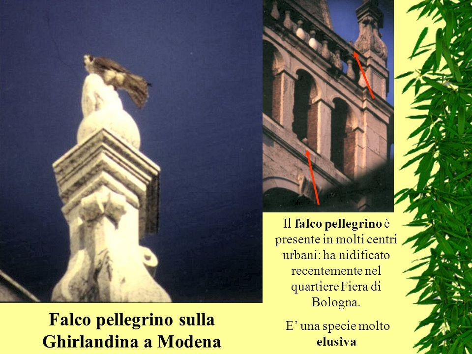 Falco pellegrino sulla Ghirlandina a Modena
