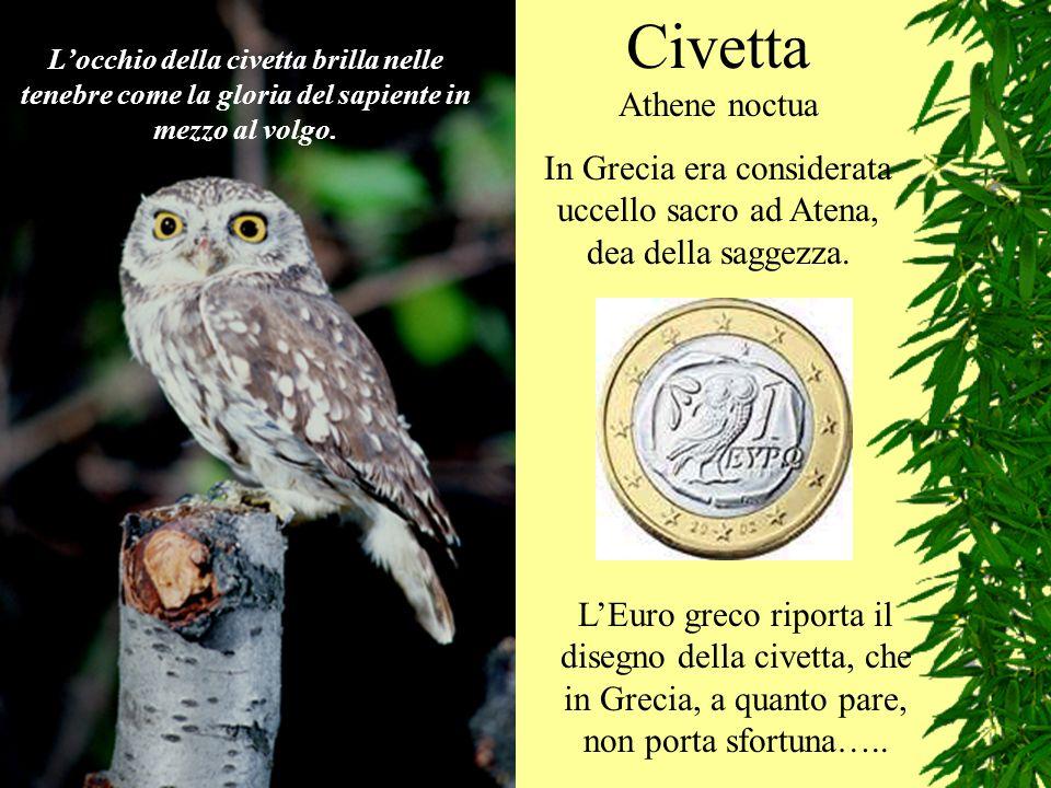 In Grecia era considerata uccello sacro ad Atena, dea della saggezza.