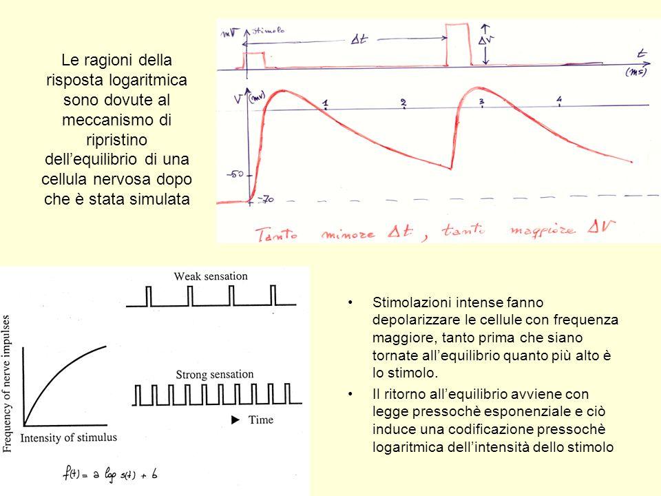 Le ragioni della risposta logaritmica sono dovute al meccanismo di ripristino dell'equilibrio di una cellula nervosa dopo che è stata simulata