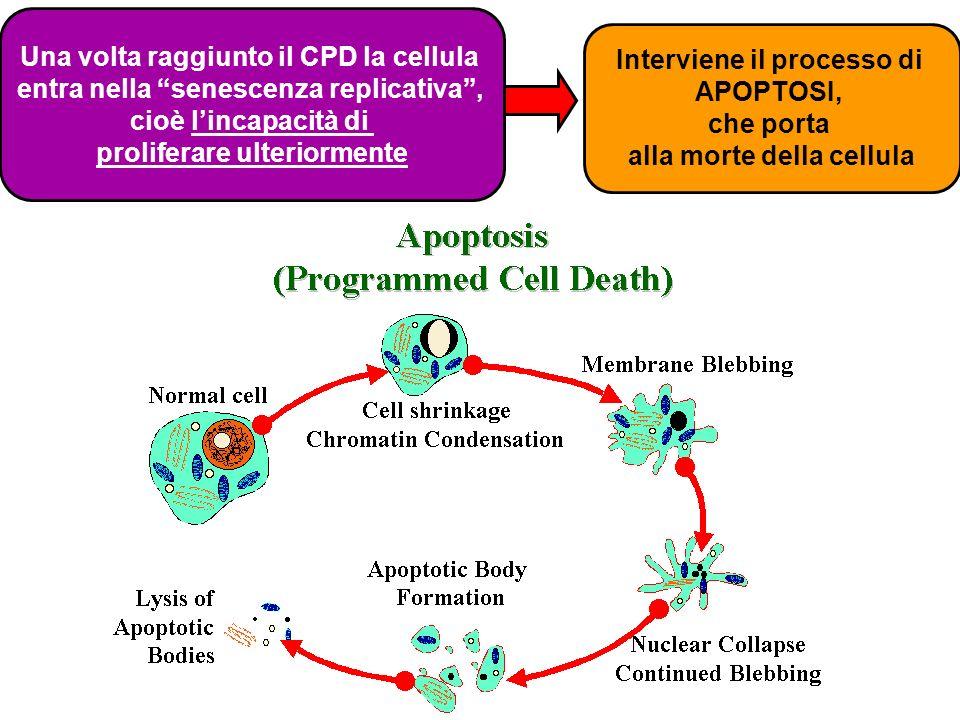 Una volta raggiunto il CPD la cellula
