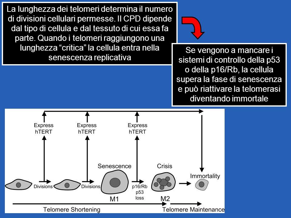 La lunghezza dei telomeri determina il numero di divisioni cellulari permesse. Il CPD dipende dal tipo di cellula e dal tessuto di cui essa fa parte. Quando i telomeri raggiungono una lunghezza critica la cellula entra nella senescenza replicativa