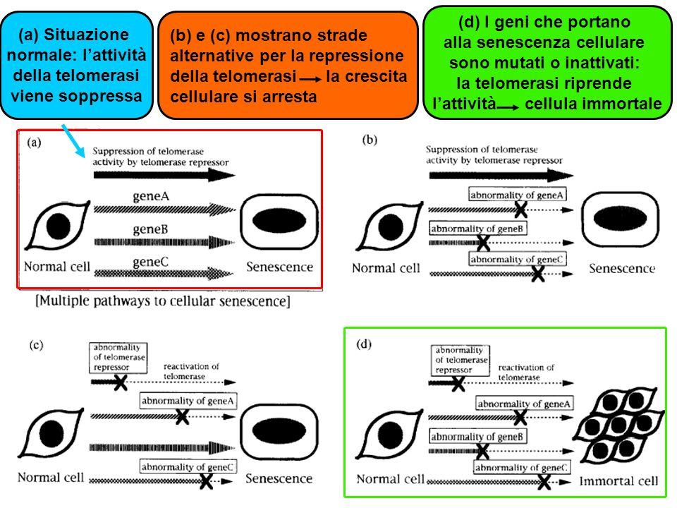 alla senescenza cellulare sono mutati o inattivati: