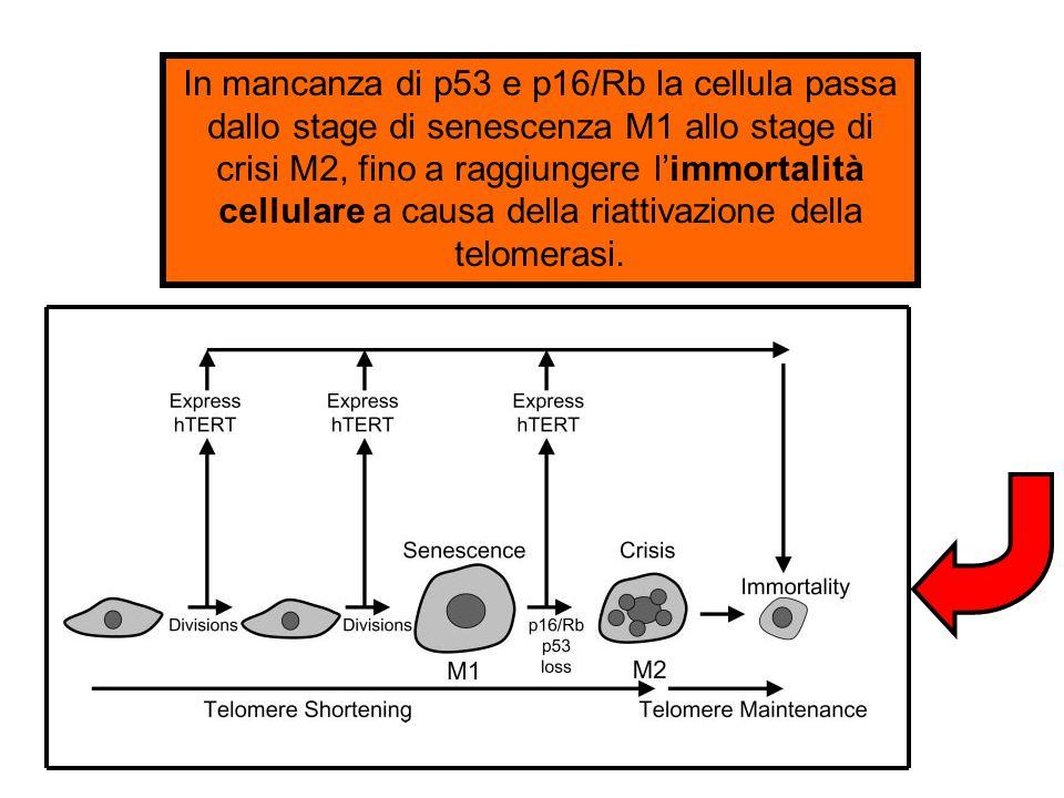 In mancanza di p53 e p16/Rb la cellula passa dallo stage di senescenza M1 allo stage di crisi M2, fino a raggiungere l'immortalità cellulare a causa della riattivazione della telomerasi.