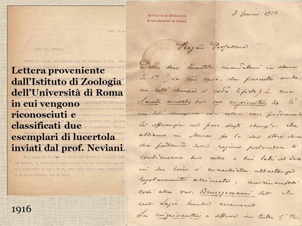 Lettera proveniente dall'Istituto di Zoologia dell'Università di Roma in cui vengono riconosciuti e classificati due esemplari di lucertola inviati dal prof. Neviani.