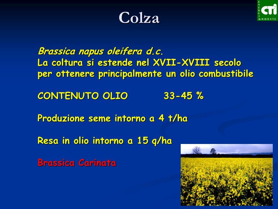 Colza Brassica napus oleifera d.c.