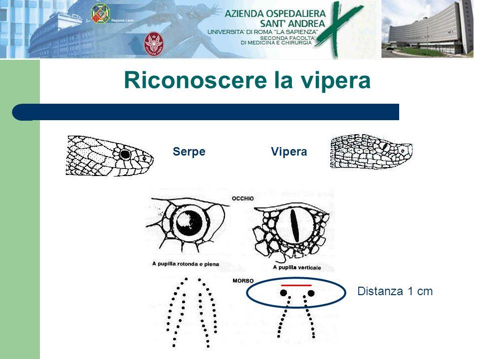 Riconoscere la vipera Serpe Vipera Distanza 1 cm
