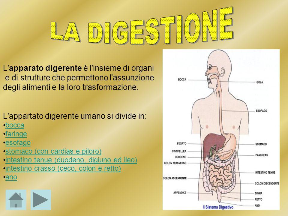 LA DIGESTIONE L apparato digerente è l insieme di organi