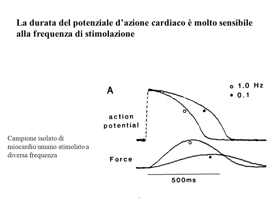 La durata del potenziale d'azione cardiaco è molto sensibile alla frequenza di stimolazione