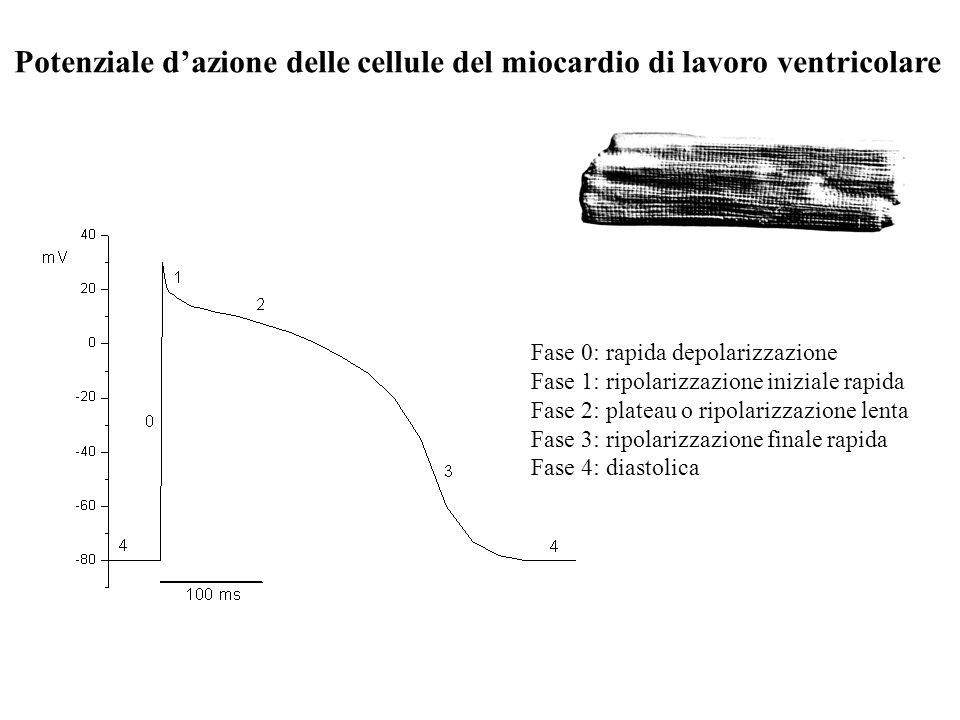Potenziale d'azione delle cellule del miocardio di lavoro ventricolare