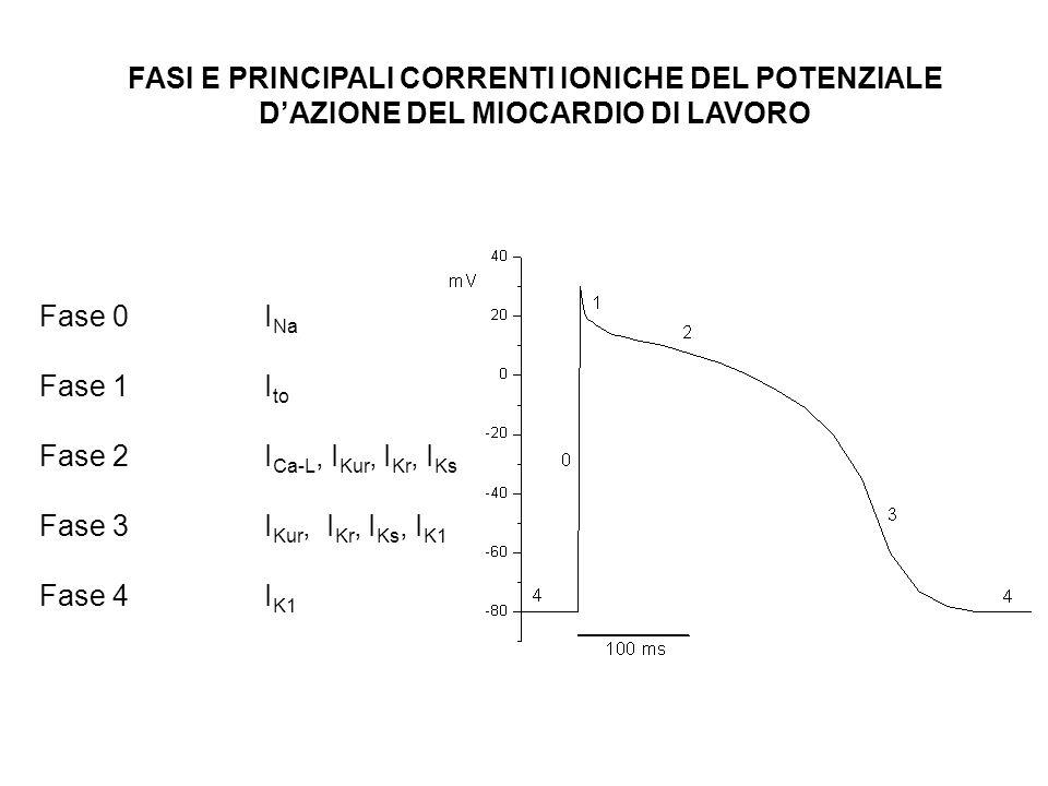 FASI E PRINCIPALI CORRENTI IONICHE DEL POTENZIALE D'AZIONE DEL MIOCARDIO DI LAVORO