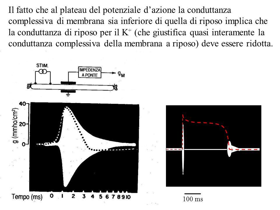 Il fatto che al plateau del potenziale d'azione la conduttanza complessiva di membrana sia inferiore di quella di riposo implica che la conduttanza di riposo per il K+ (che giustifica quasi interamente la conduttanza complessiva della membrana a riposo) deve essere ridotta.