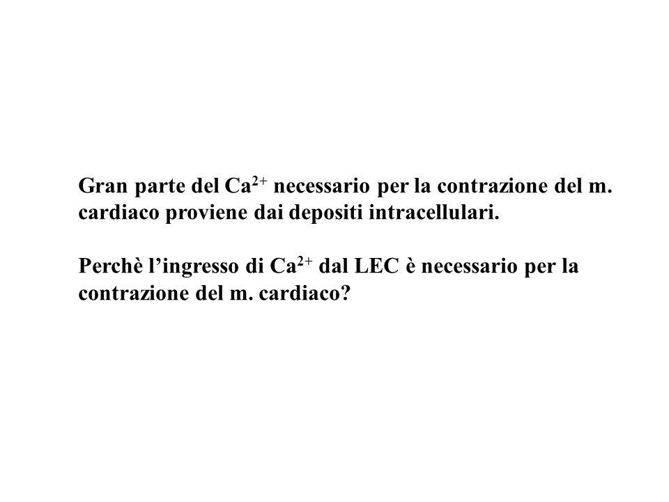 Gran parte del Ca2+ necessario per la contrazione del m