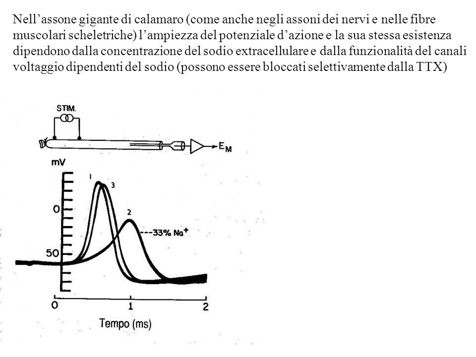Nell'assone gigante di calamaro (come anche negli assoni dei nervi e nelle fibre muscolari scheletriche) l'ampiezza del potenziale d'azione e la sua stessa esistenza dipendono dalla concentrazione del sodio extracellulare e dalla funzionalità del canali voltaggio dipendenti del sodio (possono essere bloccati selettivamente dalla TTX)