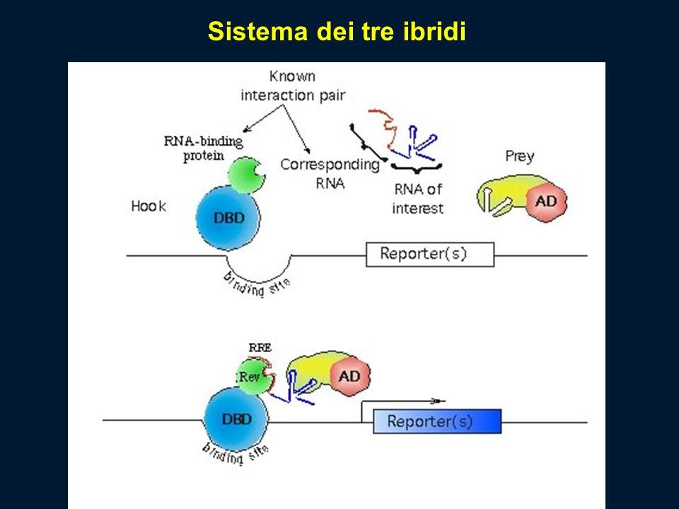 Sistema dei tre ibridi