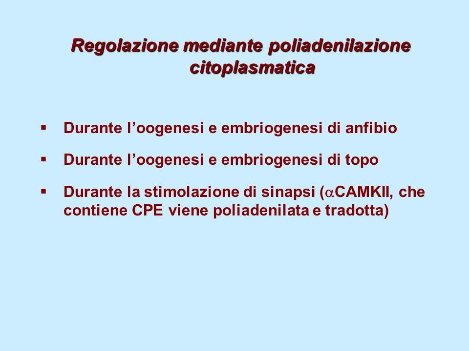 Regolazione mediante poliadenilazione citoplasmatica