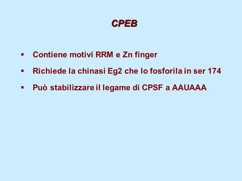 CPEB Contiene motivi RRM e Zn finger