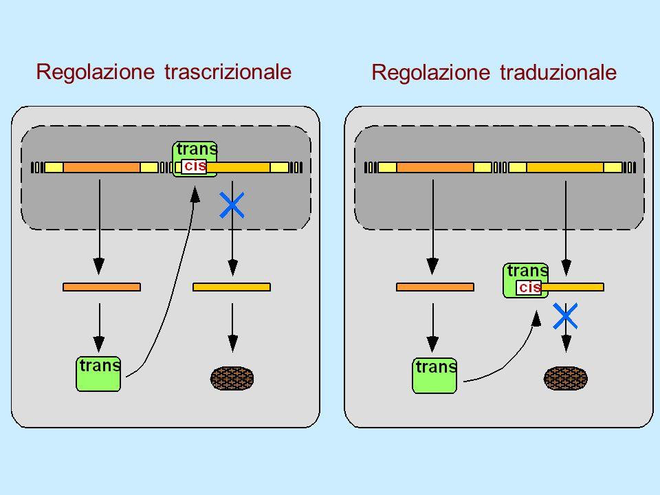 Regolazione trascrizionale