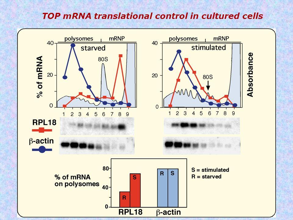 TOP mRNA translational control in cultured cells