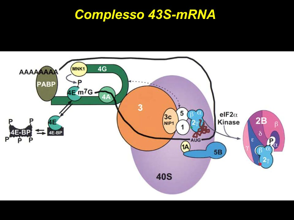 Complesso 43S-mRNA